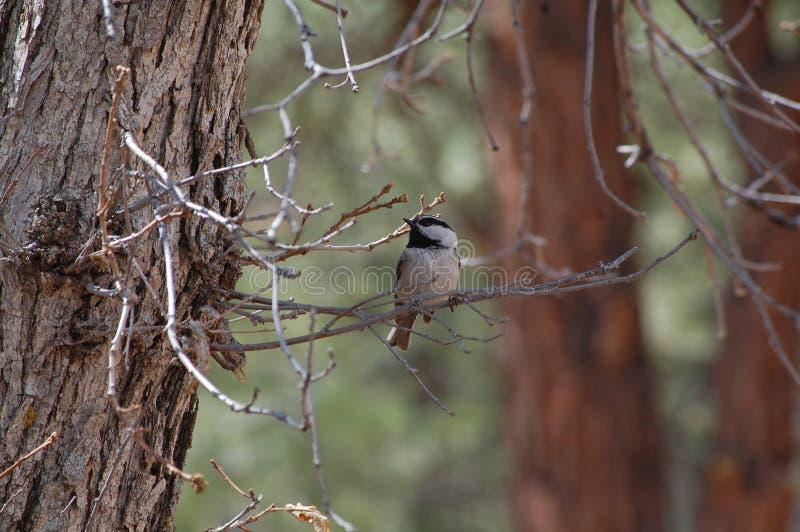 Chickadee della montagna (gambeli di Poecile) fotografia stock