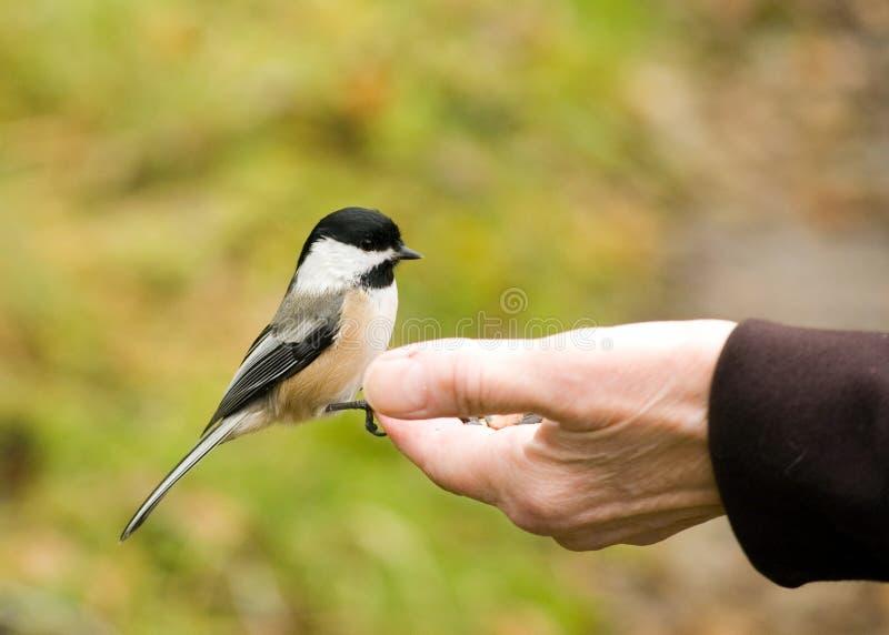 Chickadee in der Hand stockfotografie