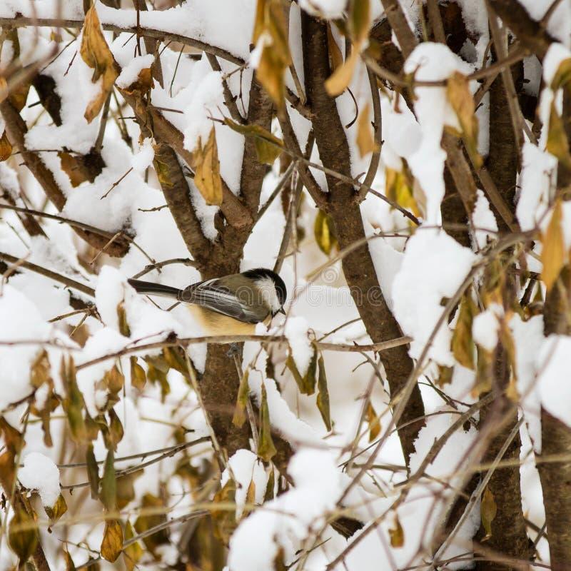 Chickadee die naar voedsel in de sneeuw zoeken royalty-vrije stock afbeelding