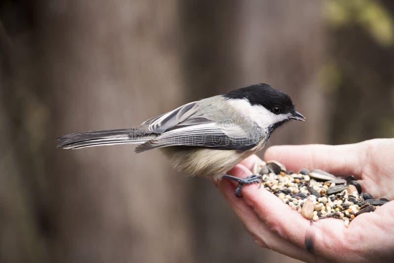 Chickadee die vogelzaad van een menselijke hand eten royalty-vrije stock afbeelding