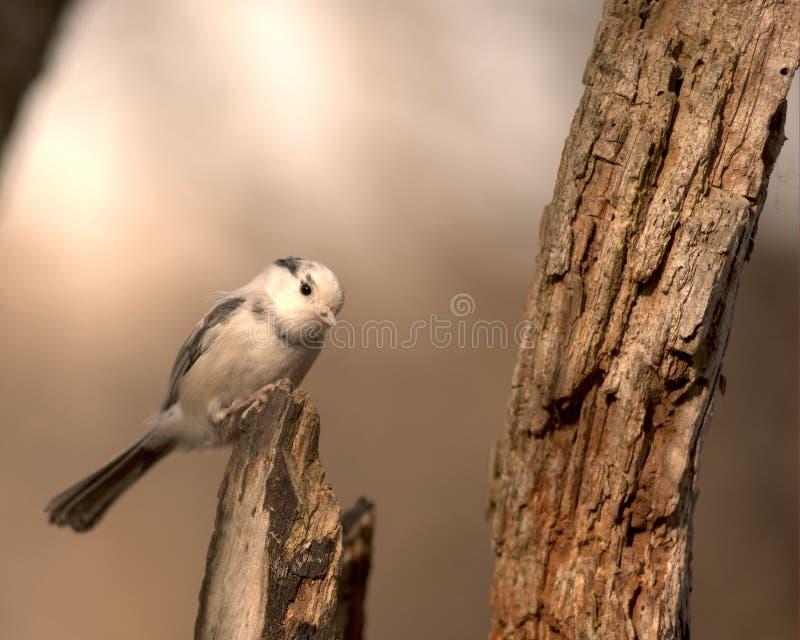 Chickadee do albino fotos de stock