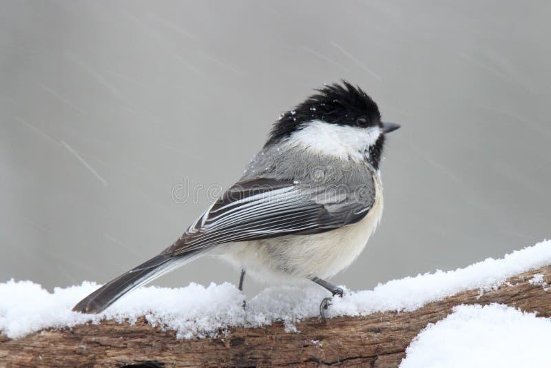 Chickadee in een Sneeuwonweer stock foto