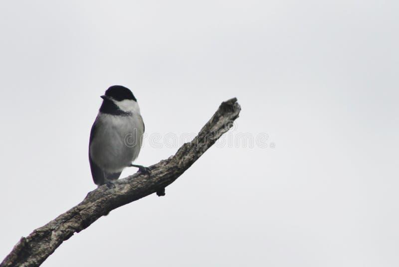 Chickadee in einem Baum lizenzfreie stockfotografie