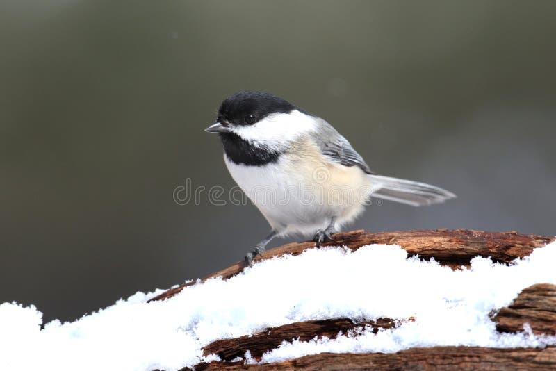 Chickadee em um ramo com neve fotografia de stock royalty free