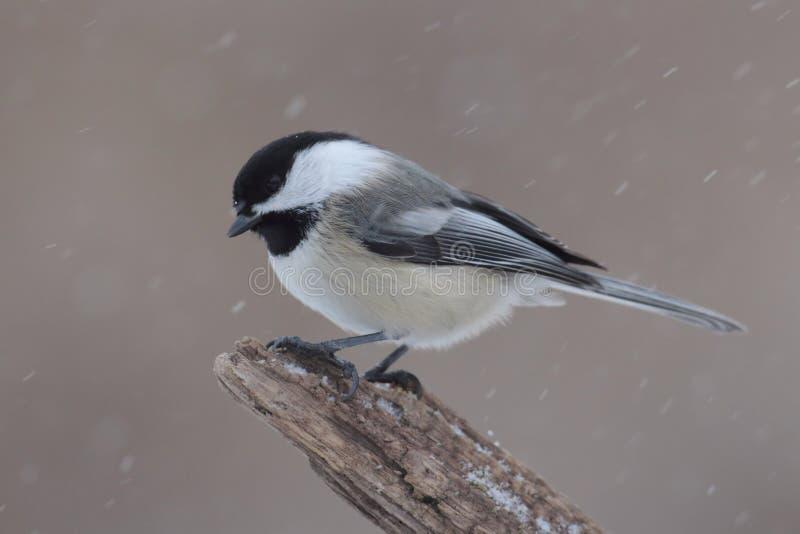 Chickadee em um ramo com neve foto de stock royalty free