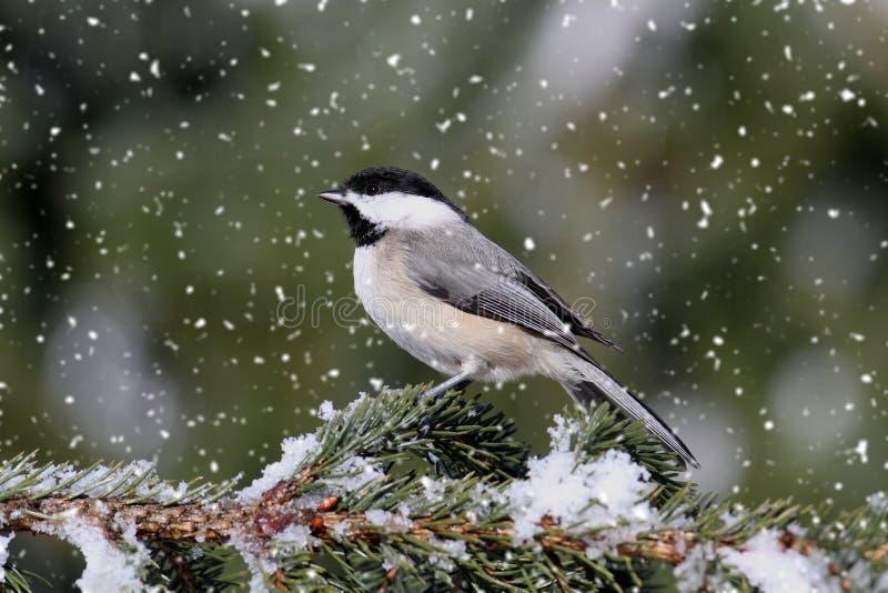 Chickadee en nevadas ligeras fotos de archivo