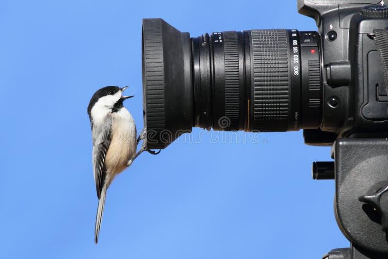 Chickadee en una cámara fotos de archivo libres de regalías