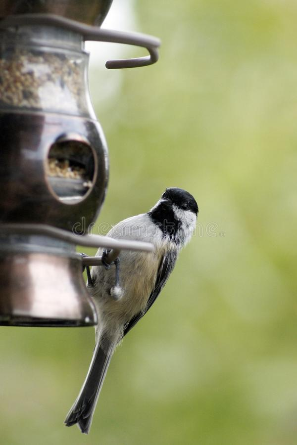 Chickadee On Feeder royalty free stock photos