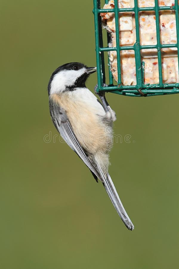 Download Chickadee On A Feeder stock photo. Image of capped, animal - 27895562