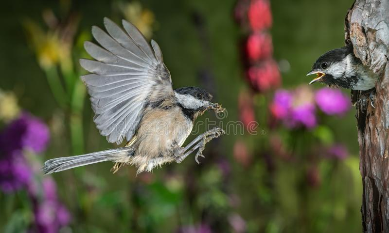Chickadee feeding chicks. This is a photograph of a chickadee flying back to nest to feed the chicks royalty free stock photo