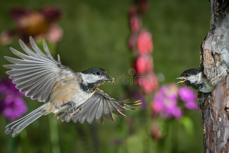 Chickadee feeding chicks. This is a photograph of a chickadee flying back to nest to feed the chicks royalty free stock image