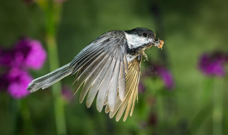 Chickadee flying in the garden. The is a high speed shot of a chickadee flying in the garden stock photo