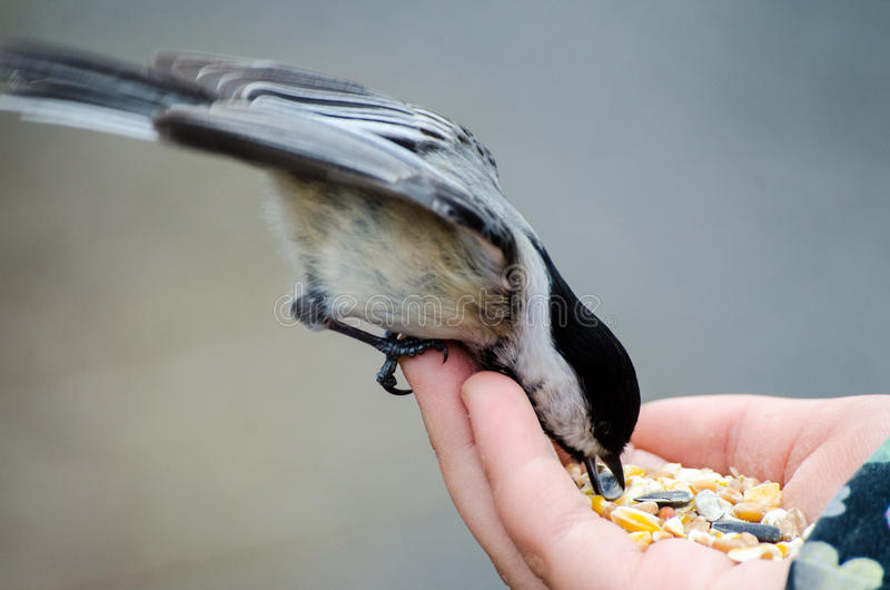 Chickadee In Hand. Feeding on bird seed stock images