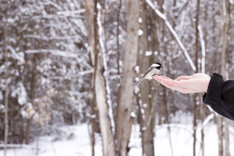 Chickadee hockte ungefähr, um etwas Vogelfutter von der Hand zu essen stockbilder