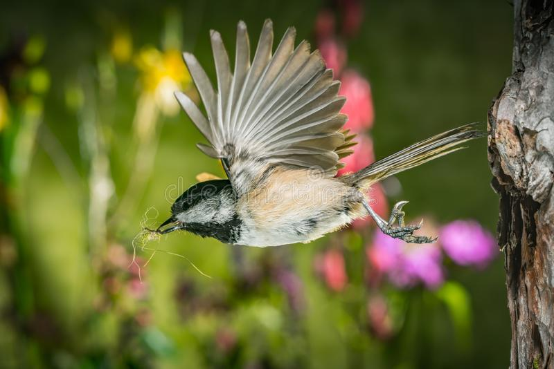 A chickadee leaving the nest. This is a photograph of the moment a chickadee leaving the nest royalty free stock photography