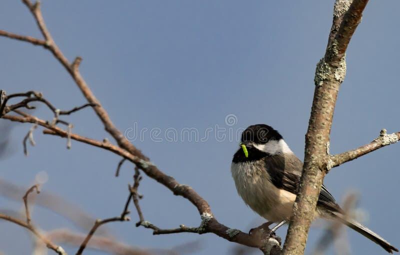 Chickadee mit einem Wurm in seinem Schnabel stockbilder