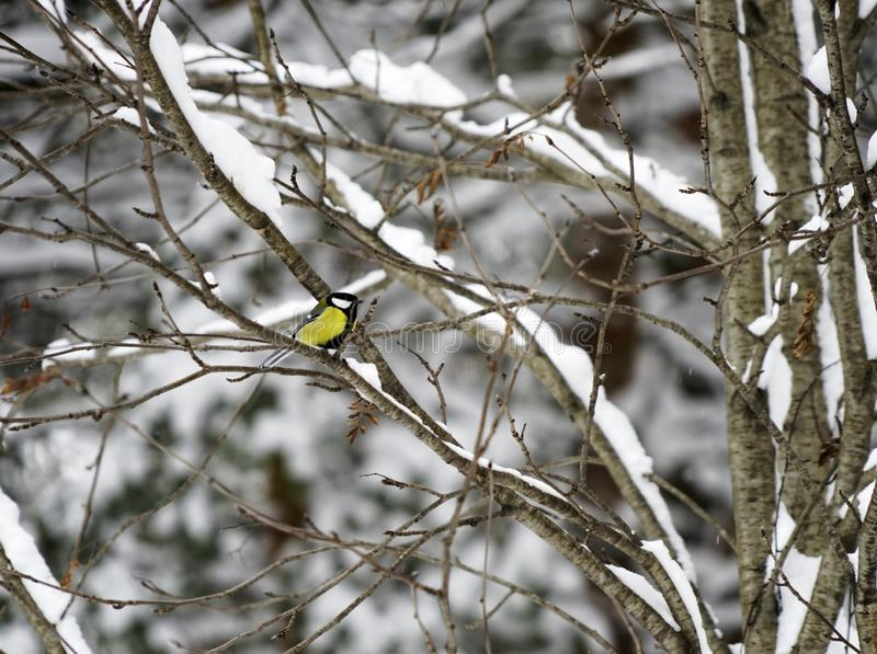 Chickadee Negro-capsulado encaramado en rama de árbol de la empanada con los conos en invierno imagen de archivo