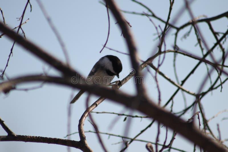 Chickadee Nero-ricoperto fotografie stock