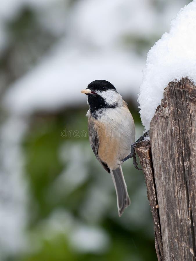 Chickadee Nero-ricoperto in neve immagini stock