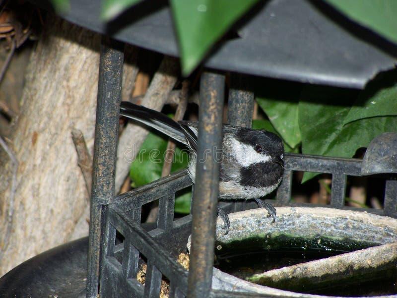 Chickadee no close-up do alimentador do pássaro fotos de stock royalty free