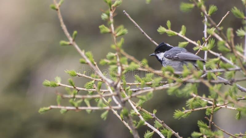 chickadee Noir-couvert complètement des détails sur une branche photographie stock libre de droits