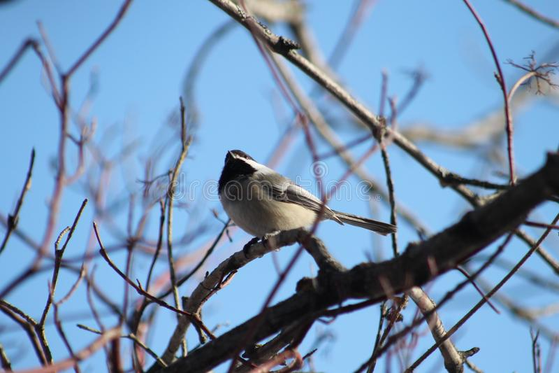 Chickadee Noir-recouvert photographie stock libre de droits