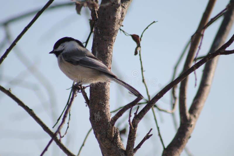Chickadee Noir-recouvert photo stock