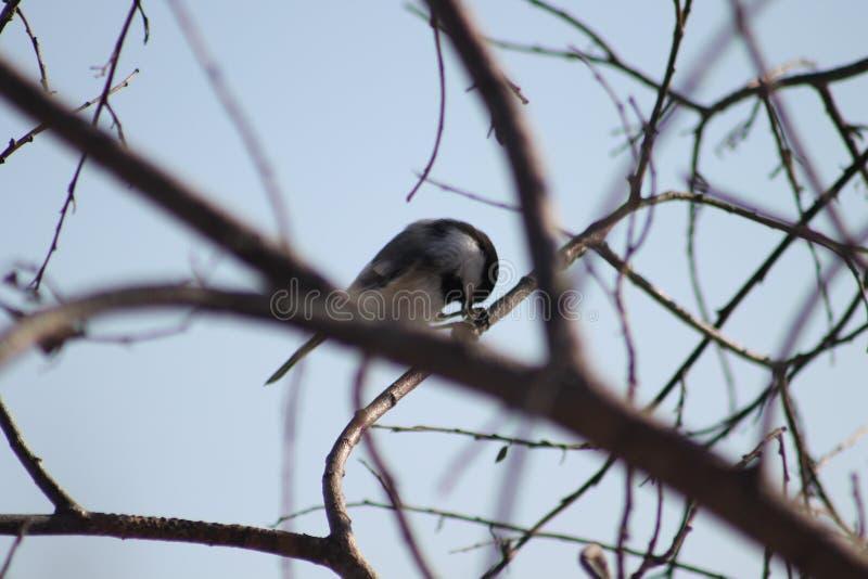 Chickadee Noir-recouvert images stock