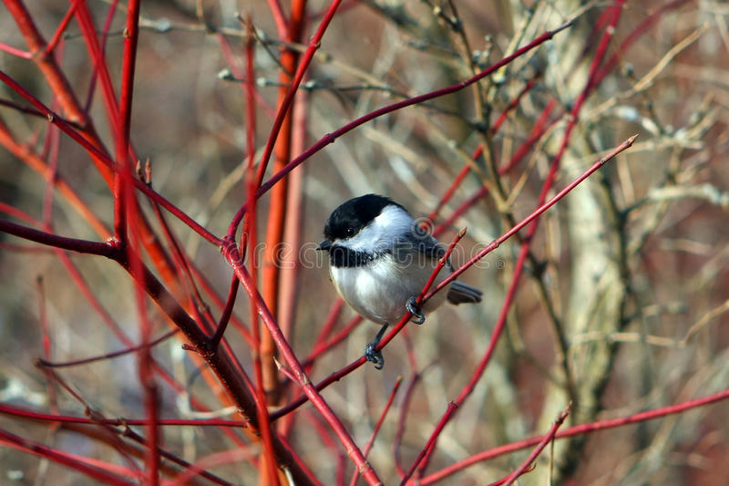 Chickadee Noir-recouvert photo stock