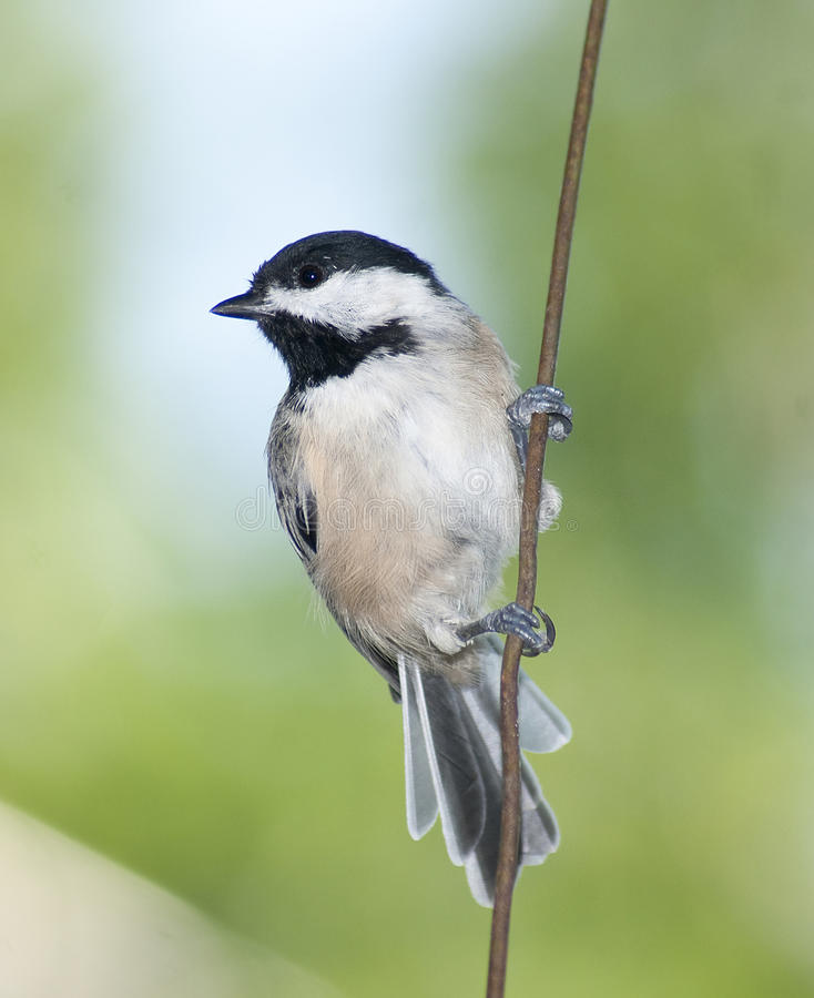 Free Chickadee On A Wire Royalty Free Stock Image - 16711836