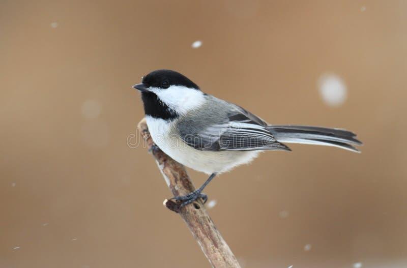 Chickadee op een tak met sneeuw royalty-vrije stock afbeelding