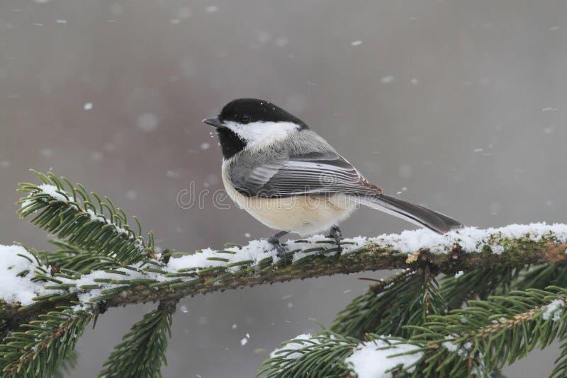 Chickadee op een tak met sneeuw royalty-vrije stock foto