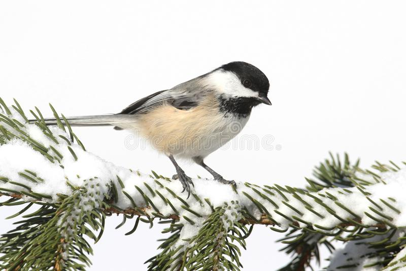 Chickadee op een tak met sneeuw royalty-vrije stock fotografie