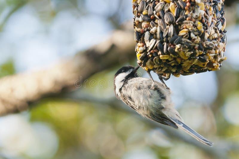 Chickadee op vogelvoeder stock afbeelding