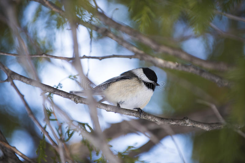 Chickadee perched in a tree. A chickadee is perched in a tree royalty free stock photos