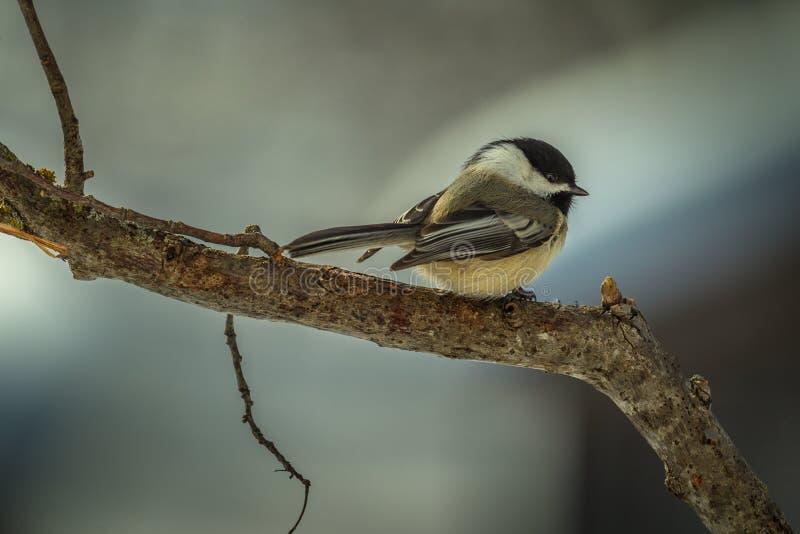 Chickadee preto-tampado inverno pronto para tomar o voo fotografia de stock