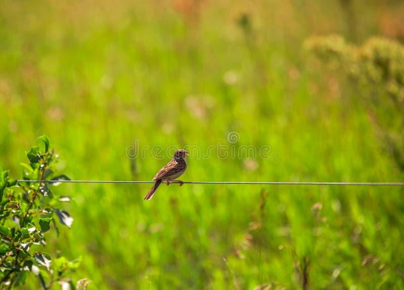 Chickadee ptak na drucie fotografia stock