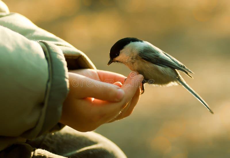 Chickadee que aterra ao braço da criança fotografia de stock royalty free