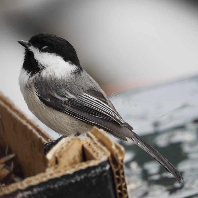 Chickadee ricoperto il nero fotografie stock libere da diritti