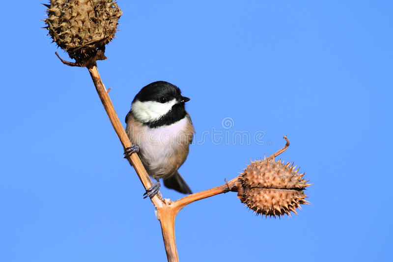 Chickadee With A Seed Pod royalty free stock photos