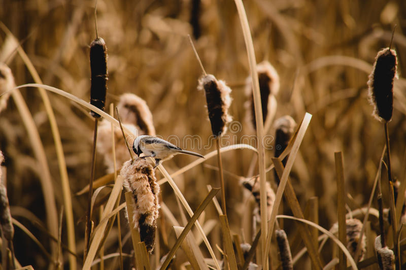 Chickadee sur le Cattail photographie stock