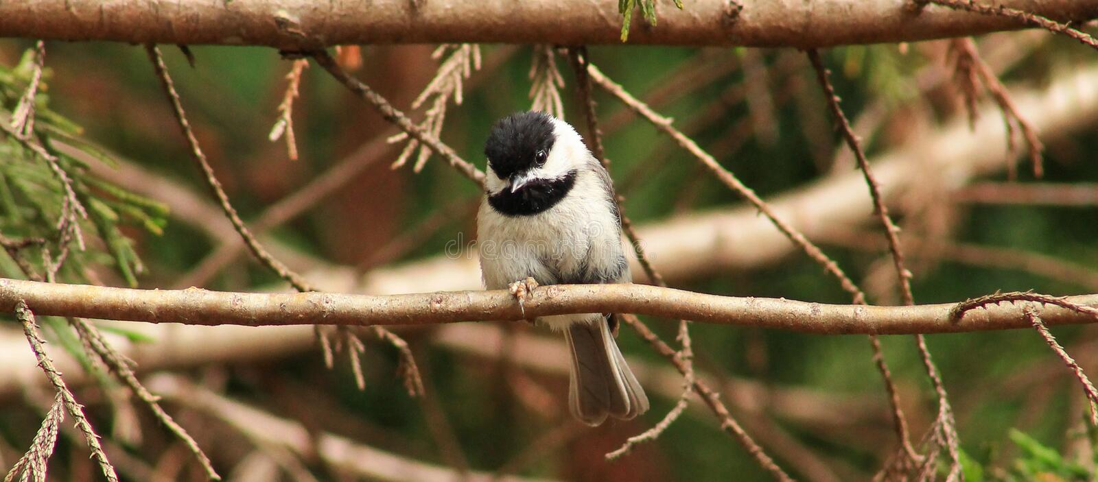 Chickadee sur un branchement photos stock
