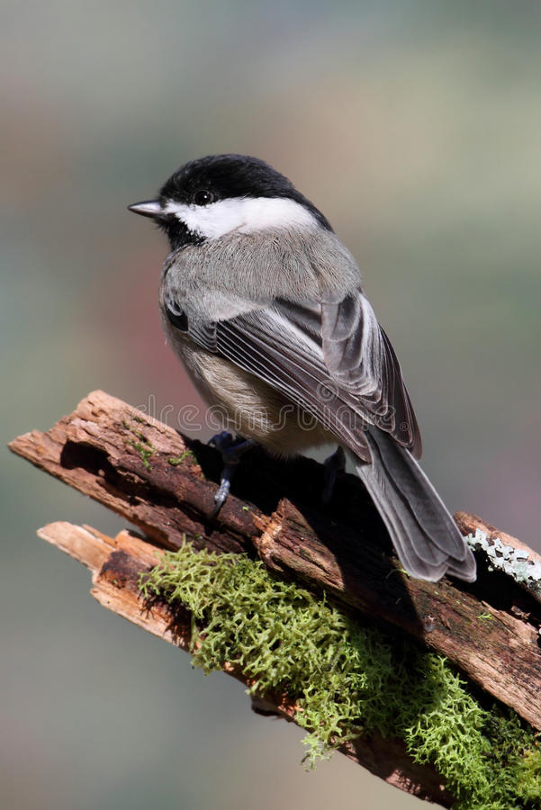 Chickadee sur un branchement photographie stock