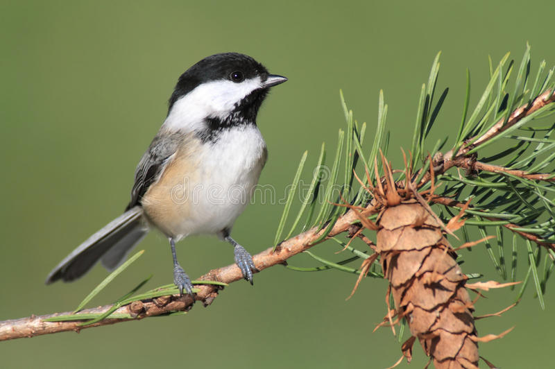 Chickadee sur un branchement image stock