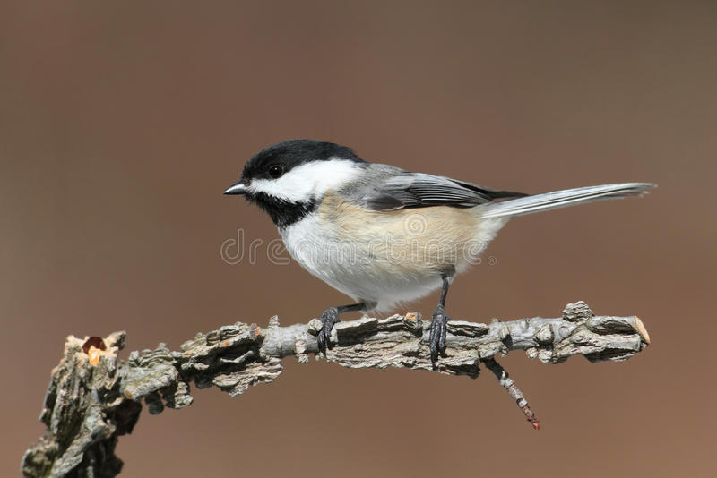 Chickadee sur un branchement photographie stock libre de droits