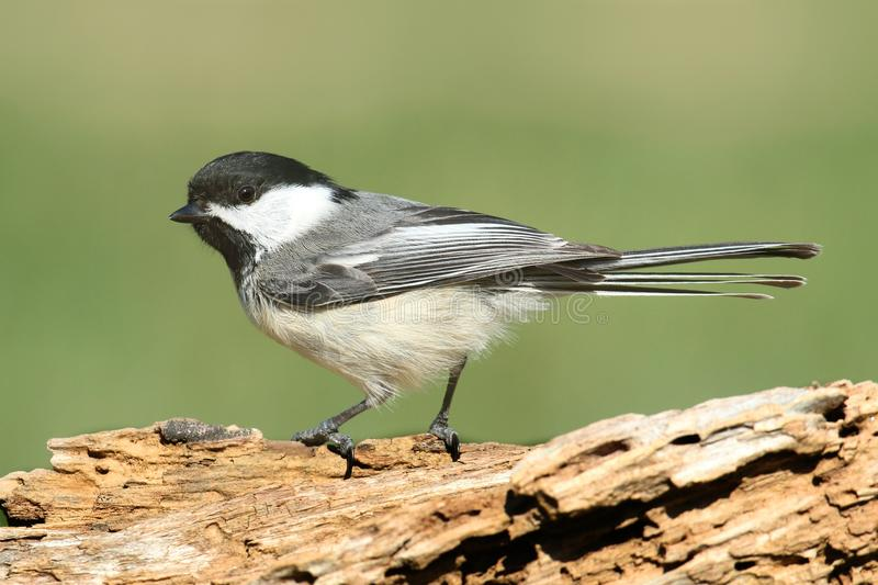 Chickadee sur un branchement images libres de droits