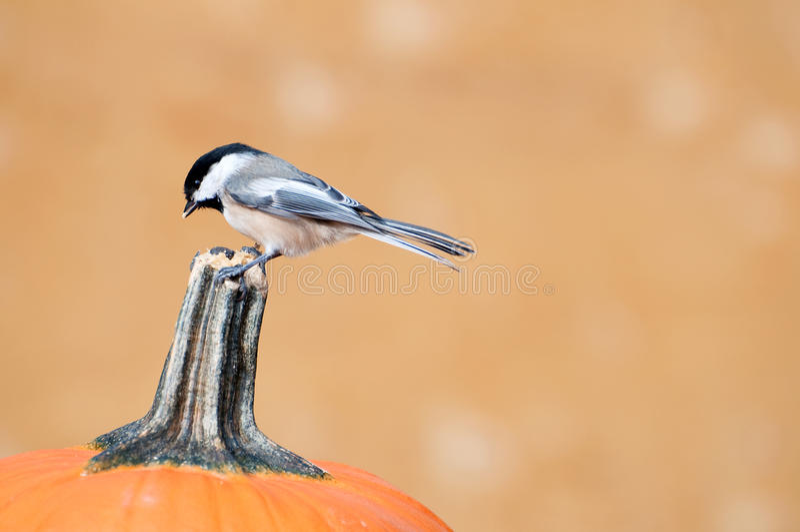 Chickadee sur un potiron. photographie stock