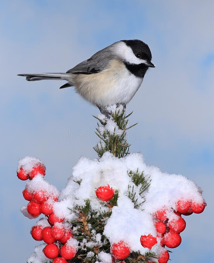 Chickadee tampado preto do inverno foto de stock royalty free