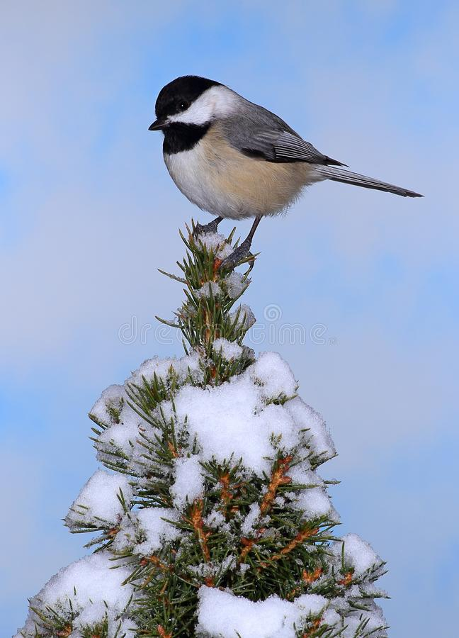Chickadee tampado preto do inverno foto de stock