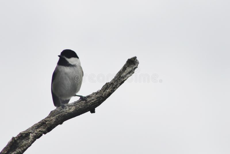 Chickadee in a tree royalty free stock photography